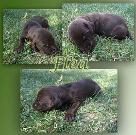 Flea z Golštýnů